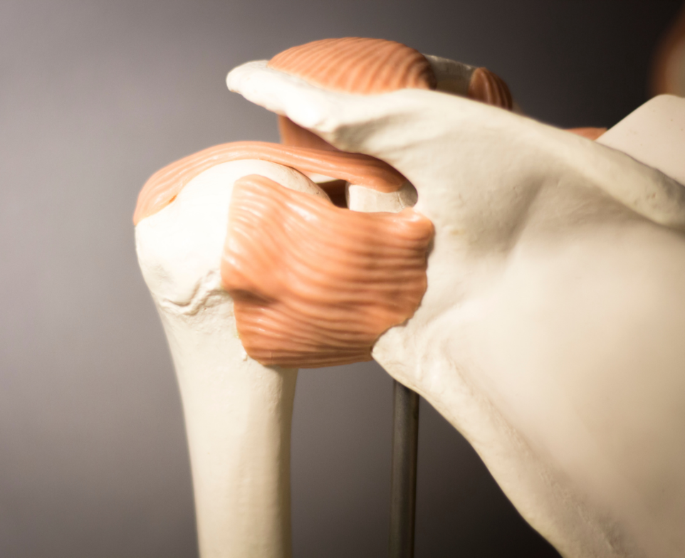 Anatomical display of the shoulder joint
